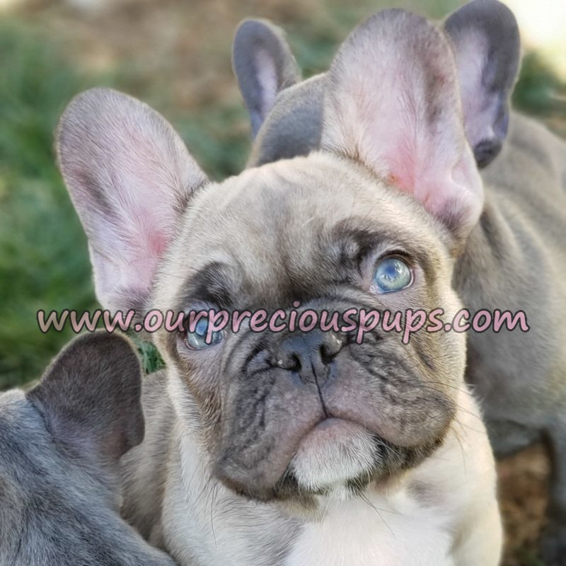 Our Precious Pups English Bulldogs French Bulldogs Pugs