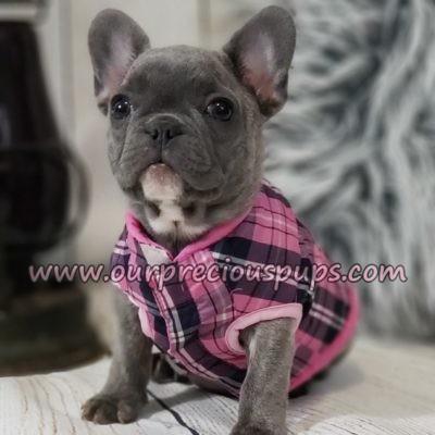 frenchbulldog-blueberry